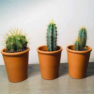 Z11 mini cactus geld inzamelen
